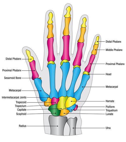sesamoid-hand-rehabilitation-anatomy-function